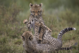 Cheetah (Acinonyx Jubatus) Cubs Playing  Serengeti National Park  Tanzania  East Africa  Africa