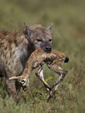 Spotted Hyena (Spotted Hyaena) (Crocuta Crocuta) with a Baby Thomson's Gazelle (Gazella Thomsonii)