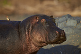 Hippopotamus (Hippopotamus Amphibius) with a Red-Billed Oxpecker (Buphagus Erythrorhynchus)