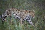 Leopard (Panthera Pardus)  Ngorongoro Conservation Area  Serengeti  Tanzania  East Africa  Africa