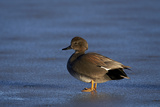 Gadwall (Anas Strepera) Male Standing on a Frozen Pond in the Winter