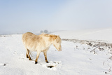 A Welsh Pony Forages for Food under the Snow on the Mynydd Epynt Moorland