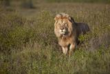 Lion (Panthera Leo)  Ngorongoro Conservation Area  Serengeti  Tanzania  East Africa  Africa