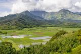 Taro Fields in Hanalei National Wildlife Refuge