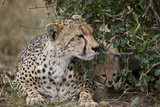 Cheetah (Acinonyx Jubatus) Mother and Cub
