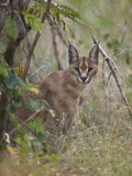 Caracal (Caracal Caracal)  Kruger National Park  South Africa  Africa