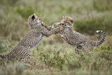 Two Cheetah (Acinonyx Jubatus) Cubs Playing
