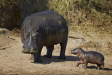 Hippopotamus (Hippopotamus Amphibius) Mother and Baby Out of the Water