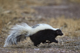 Striped Skunk (Mephitis Mephitis)  Bosque Del Apache National Wildlife Refuge  New Mexico  Usa