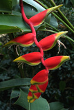 Heliconia Flowering Plant  Jamaica  West Indies  Caribbean  Central America