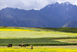 Cultivated Fields and Cattle  Moho  Bordering on Lake Titicaca  Peru