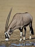 Gemsbok (South African Oryx) (Oryx Gazella) Drinking