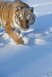 Siberian Tiger (Panthera Tigris Altaica)  Montana  United States of America  North America