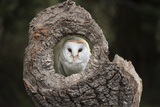 Barn Owl (Tyto Alba)  Herefordshire  England  United Kingdom