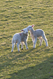 Lambs Play in a Field  Powys  Wales  United Kingdom