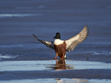 Northern Shoveler (Anas Clypeata) Male Landing on a Frozen Pond in the Winter