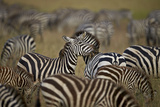 Common Zebra (Plains Zebra) (Burchell's Zebr) (Equus Burchelli) Herd