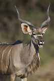 Greater Kudu (Tragelaphus Strepsiceros) Buck with His Mouth Open