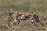 Cheetah (Acinonyx Jubatus) Carrying a Thomson's Gazelle (Gazella Thomsonii) Calf