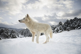 Arctic Wolf (Canis Lupus Arctos)  Montana  United States of America  North America