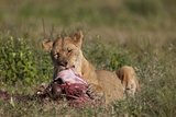 Lioness (Panthera Leo) at a Wildebeest Carcass
