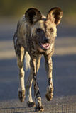 African Wild Dog (African Hunting Dog) (Cape Hunting Dog) (Lycaon Pictus) Running