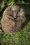 Hedgehog (Erinaceinae)  Devon  England  United Kingdom
