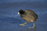 American Coot (Fulica Americana) Walking on Ice