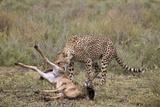 Male Cheetah (Acinonyx Jubatus) Killing a Newborn Blue Wildebeest (Brindled Gnu) Calf