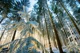 Setting Sun Illuminating the Frozen Forest of Koenigstuhl Mountain (Kings Chair)