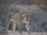 Lioness (Panthera Leo)  Kgalagadi Transfrontier Park