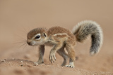 Baby Cape Ground Squirrel (Xerus Inauris)