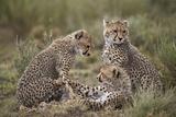 Cheetah (Acinonyx Jubatus) Cubs  Serengeti National Park  Tanzania  East Africa  Africa