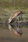 Thomson's Gazelle (Gazella Thomsonii) Buck Drinking with Reflection