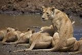 Lions (Panthera Leo) Drinking