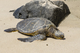 A Green Sea Turtle (Chelonia Mydas) on Laniakea Beach