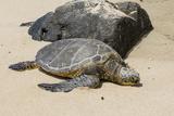 A Green Sea Turtle (Chelonia Mydas) on Laniakea Beach