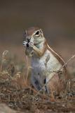 Cape Ground Squirrel (Xerus Inauris) Eating