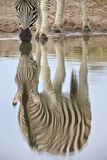 Common Zebra (Plains Zebra) (Burchell's Zebra) (Equus Burchelli) Reflection