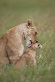 Lion (Panthera Leo) Female Grooming a Cub  Ngorongoro Crater  Tanzania  East Africa  Africa