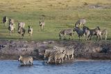 Burchell's Zebras (Equus Burchelli)  Chobe National Park  Botswana  Africa
