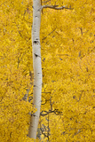 Yellow Aspen in the Fall  Uncompahgre National Forest  Colorado  Usa