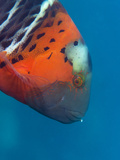 Red-Banded Wrasse (Cheilinus Fasciatus)  Cairns  Queensland  Australia  Pacific