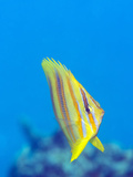 Rainford's Butterflyfish (Chaetodon Rainfordi)  Cairns  Queensland  Australia  Pacific