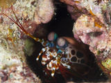 Mantis Shrimp (Gonodactylus Sp)  a Hole Dwelling Crustacean  Queensland  Australia  Pacific
