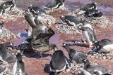 An Adult Brown Skua (Stercorarius Spp) Stealing a Penguin Egg at Brown Bluff  Antarctica