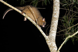 Coppery Brushtail Possum (Trichosurus Vulpecula Johnstonii)