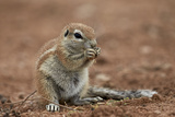 Young Cape Ground Squirrel (Xerus Inauris) Eating