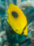 Ovalspot Butterflyfish (Chaetodon Speculum)  Cairns  Queensland  Australia  Pacific