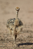 Common Ostrich (Struthio Camelus) Chick